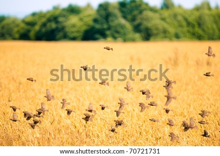 A flock of sparrows flying over the wheat field - stock photo