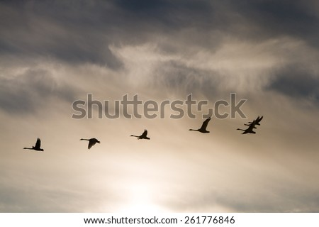A flock of swans flying at sunset - stock photo