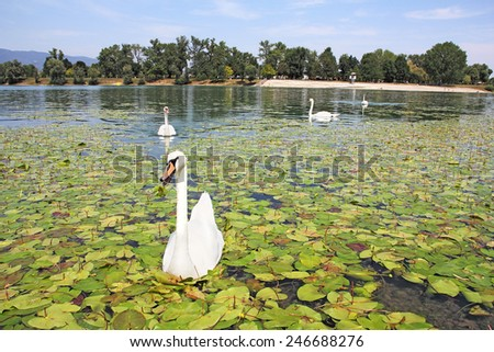 A flock of white swans floating on the calm lake  - stock photo