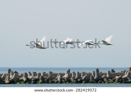 A flock of white swans flying over the Strait - stock photo