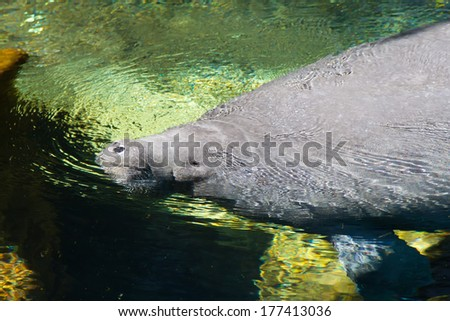 A Florida manatee (Trichechus manatus latirostris) is a subspecies of the West Indian manatee. Florida manatees are geographically the most northern of all manatees - stock photo