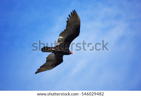 A Florida Turkey Vulture flying overhead with a clear blue sky background