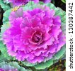 A flower of green and purple cabbage to decorate the garden - stock photo