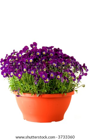 A flower pot full of spring violets.  Deep purple color. - stock photo