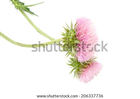 A flowering pink thistle isolated white  - stock photo