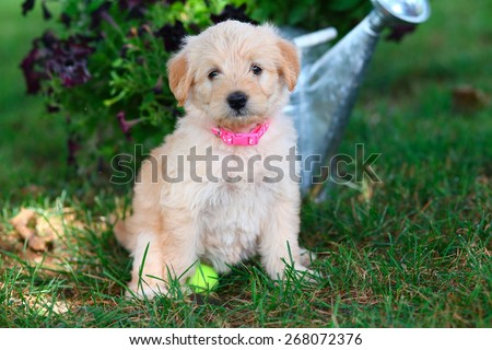 A fluffy little Miniature Poodle mix puppy sits in some grass with a tennis ball in front of a watering can full of flowers. - stock photo