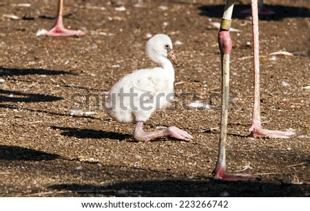 A  fluffy young flamingo - stock photo