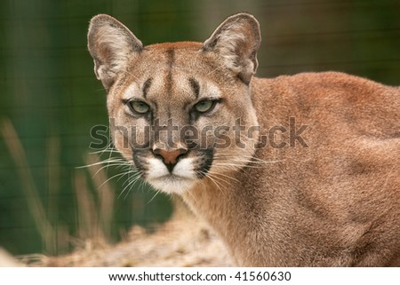 A fly has settled on the nose of a Puma
