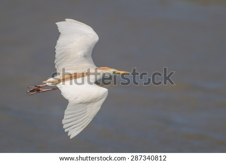 A flying cattle egret (Bubulcus ibis) with open wings