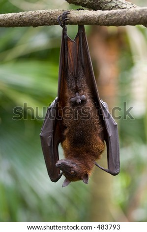 A flying fox hangs upside down from a branch - stock photo