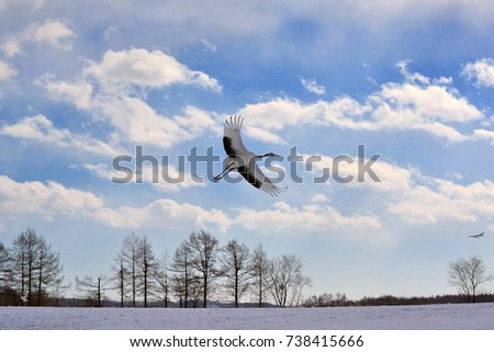 A Flying Red crowned Crane or Japanese crane at Tsurui village Kushiro, Hokkaido, Japan.