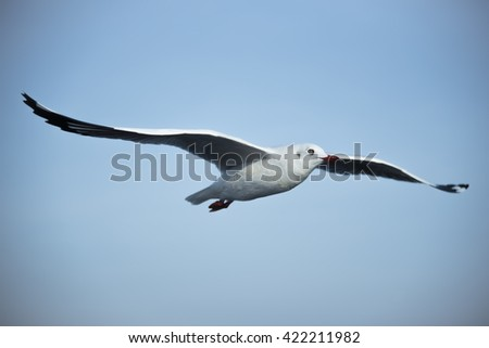 A Flying Seagull with Wide Spreading Wings to the Right Hands on Clear Blue Sky for Nature Background. - stock photo