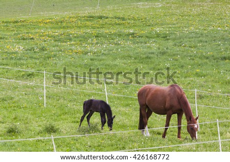 A foal and mare in the pasture - stock photo
