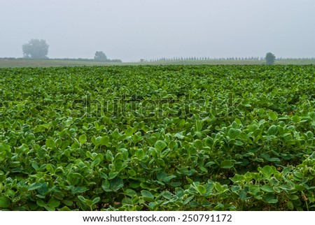 A foggy morning view of a soybean field in Freehold New Jersey. - stock photo