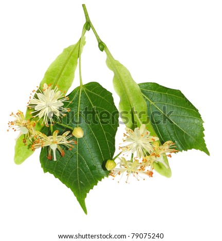 A foliage and flowers of linden is isolated on a white background - stock photo