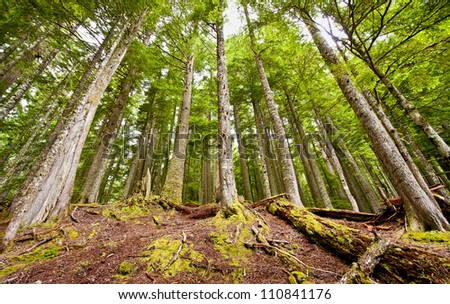A forest in mount rainer - stock photo
