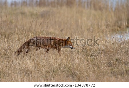 A Fox in a Dry Meadow