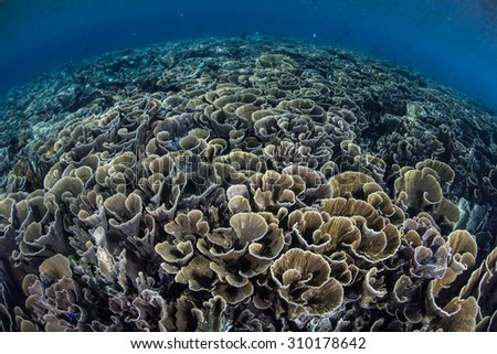 A fragile coral reef grows in shallow water in Komodo National Park, Indonesia. This fascinating region, part of the Ring of Fire, is home to an amazing diversity of marine life. - stock photo