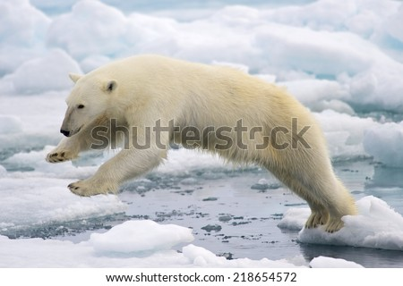 A frame-filling portrait of a male polar bear (Ursus maritimus) jumping in the pack ice. Svalbard, Norway. - stock photo