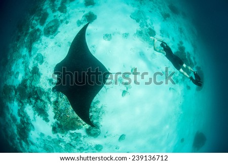 A free diver swims near a manta ray (Manta alfredi) in Raja Ampat, Indonesia. This region is the heart of the Coral Triangle and is known for high marine biodiversity and beautiful diving. - stock photo