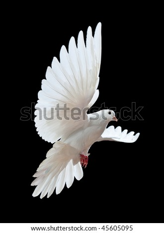 A free flying white dove isolated on a black background - stock photo