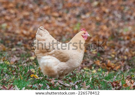 A free range chicken in a grassy field with autumn leaves - stock photo