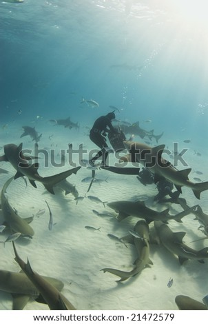 A freediver reaches into the bait box to get a snack for a pack of circling Lemon Sharks (Negaprion brevirostris) - stock photo