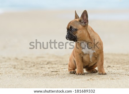 A French bulldog puppy playing at the beach - stock photo