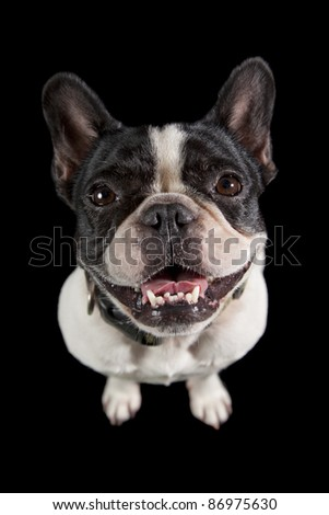 a french bulldog smiling straight into the camera isolated on a black background - stock photo