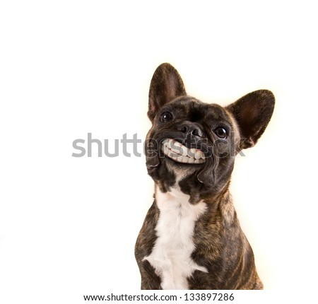 a french bulldog with a huge smile isolated on a white background - stock photo