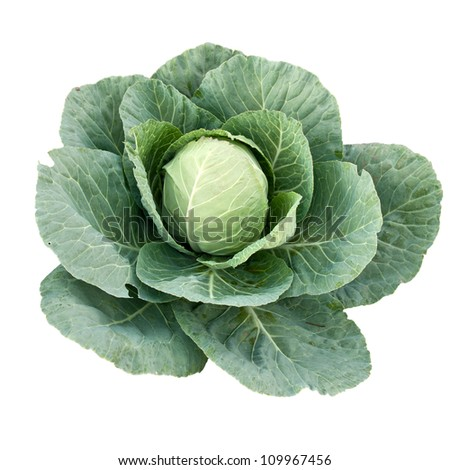 A Fresh Cabbage in Field on White Background - stock photo