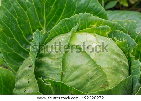 A fresh head of cabbage growing in a garden.