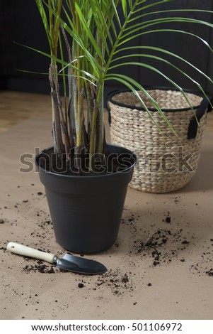a freshly potted palm tree with a shovel