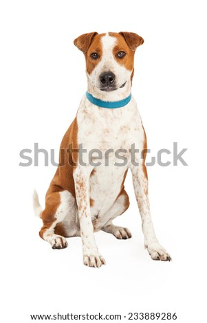 A friendly looking Australian Cattle Mix Breed Dog sitting at an angle with looking forward.