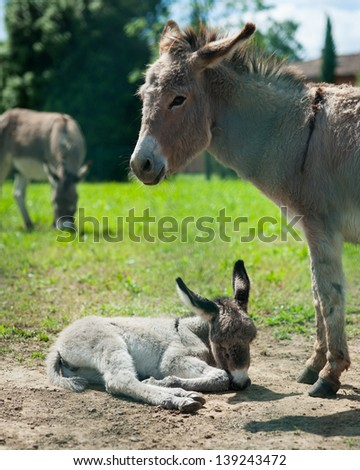 A friendly mother and baby donkey relaxing in the meadow. - stock photo