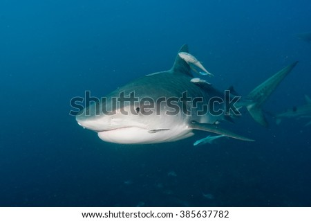 A friendly tiger shark gliding by, joined by several remora fish - stock photo