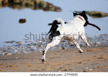 A frisky Jack Russell terrier retrieving a stick from the ocean.  Caught in flight.
