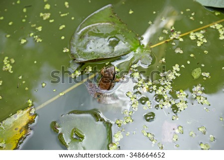 a frog in a stream covered with tiny leaves  - stock photo
