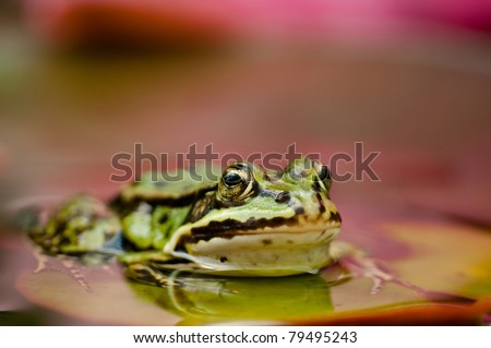 a frog on a leaf - gardem water frog - stock photo