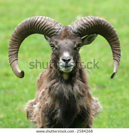 A frontal portrait of a goat with horns against a green background - stock photo