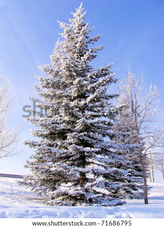 A frost covered spruce tree stands on a cold day in the park - stock photo