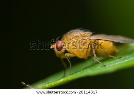 A fruit fly - stock photo