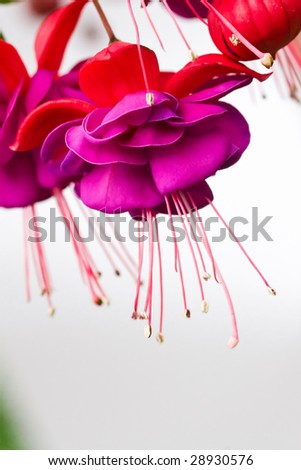 A fuchsia flower - stock photo