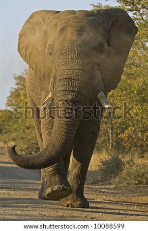 A Full Blooded Charge by an Angry African Elephant is terrifying - stock photo