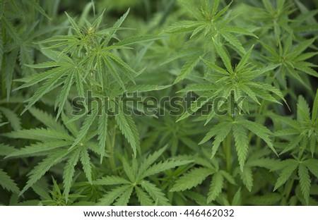 A full frame of marijuana foliage, background wallpaper - stock photo