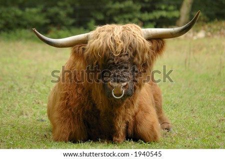 A full-frontal view of a bull (ox) of the Scottish  Highland cattle breed. Flies on his nose. Known as the 'Hairy coo' in Scotland. - stock photo