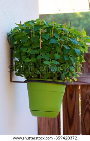 A full, lush catnip plant in a green pot hanging on the wall. - stock photo