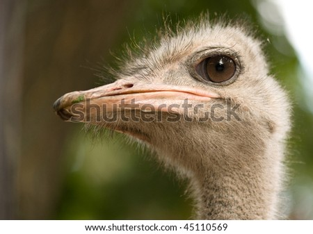 A full photo of a ostrich face
