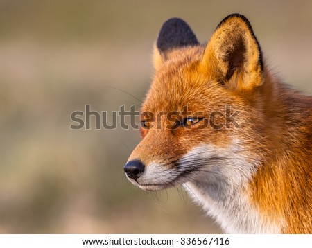 A full resolution portrait of a  red fox (Vulpes vulpes) looking towards the sun in natural environment. The beautiful wild animal of the wilderness. Shred looking in the camera.  - stock photo