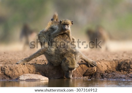 A full view, horizontal, colour photograph of a baboon drinking at a waterhole with a baby baboon with a cheek full of food clinging to her back in Mashatu Game Reserve, Northern Tuli, Botswana. - stock photo